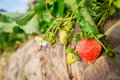Fresh strawberry in strawberry s field Stock Photography