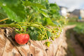 Fresh strawberry in strawberry s field Royalty Free Stock Photography