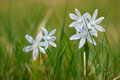 Fresh striped squill flowers at garden grass Royalty Free Stock Photo