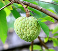Fresh sugar apple Royalty Free Stock Photo
