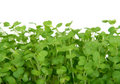 Fresh summer cress, healthy salad garnish food Royalty Free Stock Images