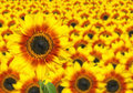 Fresh Sunflower - Sun Flower Background Royalty Free Stock Image