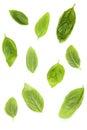 Fresh sweet basil leaves isolated on white background. Sweet bas Royalty Free Stock Photo