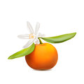 Fresh tangerine fruit with green leaves and flower. Photo-realis