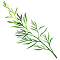Fresh tarragon herb isolated on a white background Royalty Free Stock Photo
