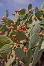 Fresh tasty prickly pear on tree outside in summer Royalty Free Stock Photography