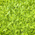 Fresh tea leaf textures background green Royalty Free Stock Photos