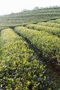 Fresh tea leaves on morning. Tea plantations Royalty Free Stock Photo