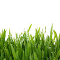 Fresh thick grass closeup Royalty Free Stock Photo