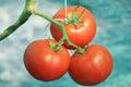 fresh tomato in garden Royalty Free Stock Photo