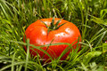 Fresh tomato in green grass lies Royalty Free Stock Images