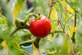 Fresh tomato on a plant Royalty Free Stock Image