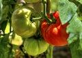 Fresh tomato plant Royalty Free Stock Photo