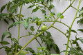 Fresh tomato plant. Natural tomatoes whit leaves, fruits and Stem. Royalty Free Stock Photo