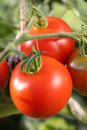 Fresh tomatoes on tomato bush in a garden hanging Stock Images