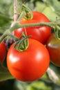 Fresh tomatoes on tomato bush in a garden Royalty Free Stock Photo