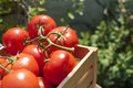 Fresh tomatoes on the vine in a wooden crate Royalty Free Stock Photo