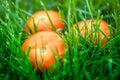 Fresh tomatos laying on green grass Royalty Free Stock Photos