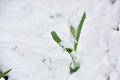 Fresh tulip flower in a garden under snow in April Royalty Free Stock Photo