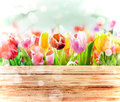 Fresh tulips in bright sunlight with a bokeh Royalty Free Stock Photo
