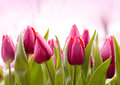 Fresh Tulips with Dew Drops Royalty Free Stock Photo