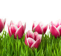 Fresh Tulips and green Grass with drops dew Royalty Free Stock Images