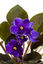 Fresh violets Royalty Free Stock Photo