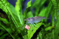 Fresh water shrimp in aquarium Stock Photography