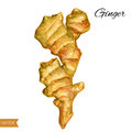 Fresh watercolor ginger root, Hand draw ginger illustration isolated on white background, Organic fresh healthy food