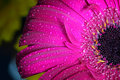Fresh wet gerbera flower close-up at spring. Great as background or greeting card Royalty Free Stock Photo