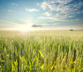 Fresh wheat field in rays of dawn, on background of sky Royalty Free Stock Photo