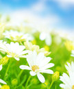 Fresh white daisy flowers meadow over blue sky soft focus spring time season floral field beautiful nature Stock Image