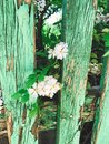 Fresh white flowers and green leaves on old wooden fence,clematis, jasmine or wild rose bush. Beautiful tender shrub with flowers Royalty Free Stock Photo
