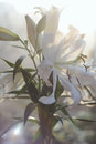 Fresh white lily bouquet in soft sunlight Royalty Free Stock Photo