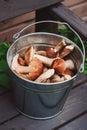 Fresh wild edible orange and brown cap boletus mushrooms gathered in can Royalty Free Stock Photo