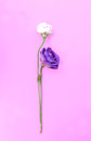Fresh and wilted rose isolate on pink background. Royalty Free Stock Photo