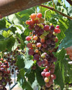 Fresh wine grapes Stock Images