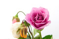 Fresh and withered roses pink with rose background Stock Photo