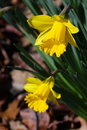 Fresh yellow daffodil closeup Royalty Free Stock Photo