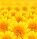 Fresh yellow flower background Stock Photos