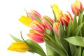 Fresh yellow pink tulips isolated white background Royalty Free Stock Photo