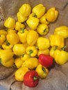 Fresh yellow and red Bulgarian pepper in the basket Royalty Free Stock Photo