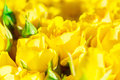 Fresh yellow roses with green leaves Royalty Free Stock Photo