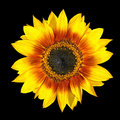 Fresh Yellow Sunflower Petals Closeup Isolated Royalty Free Stock Photography