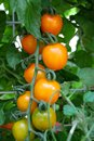 Fresh yellow tomatoes on the plant very Royalty Free Stock Photo