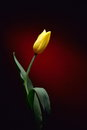 Fresh yellow tulip in studio Royalty Free Stock Photo
