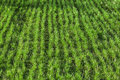 Fresh young grass grows in a rows on spring green field photo with selective focus Royalty Free Stock Photo