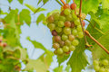 Fresh and young green grapes bunches of still on the tree Stock Photography