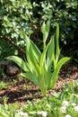 Fresh Young Iris Flowering Per...