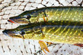 Freshly caught fish using fishing net Royalty Free Stock Image